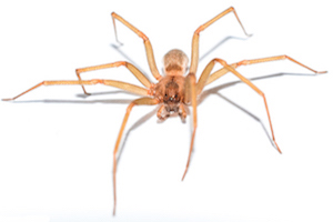 The Brown Recluse
