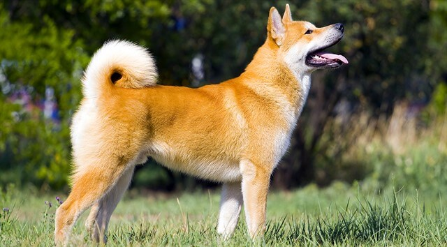 Everybody Love Dogs, But There Is Something Special About The Akita