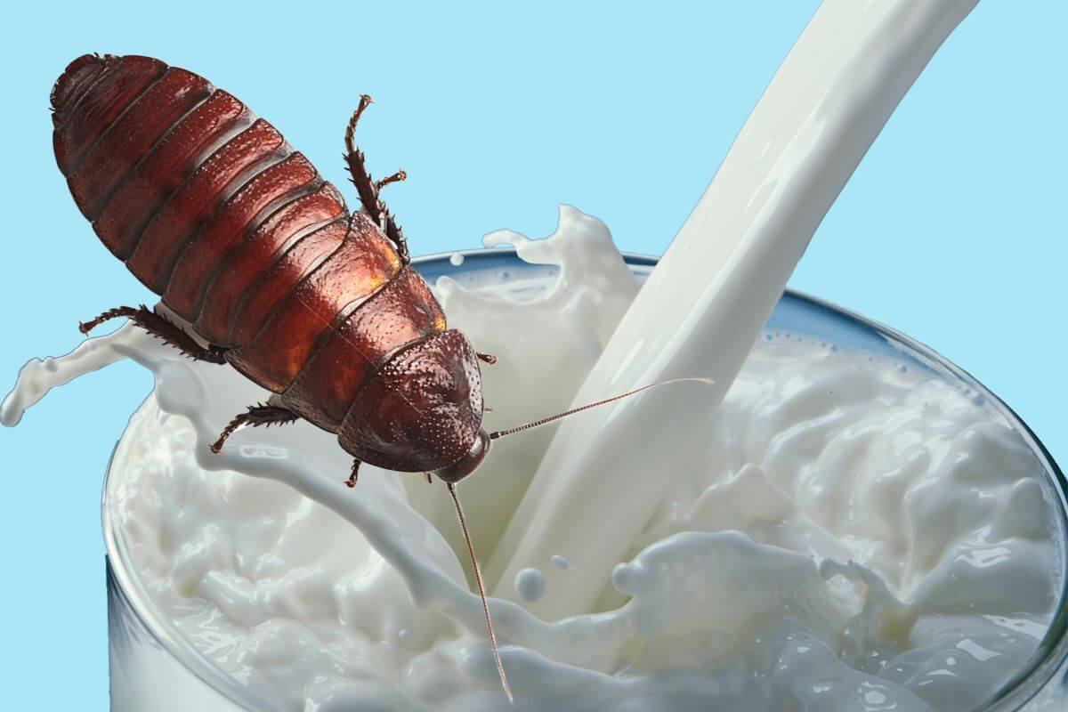 Is cockroaches milk  the next super food