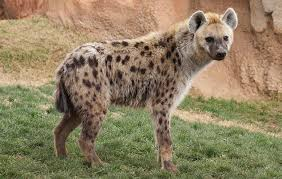 Facts about the Hyena